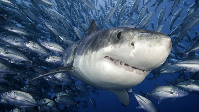 tiburon a tu tanque
